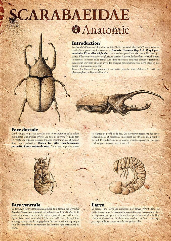 scarabaeidae-01.jpg